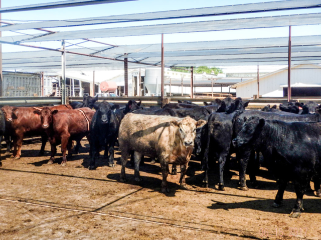 Short term holding facilities must do all that they can to keep the cattle healthy...windscreens, sunscreens provide both.