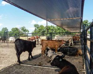 Screens to keep cattle and other livestock cool